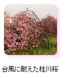台風に耐えた桂川桜