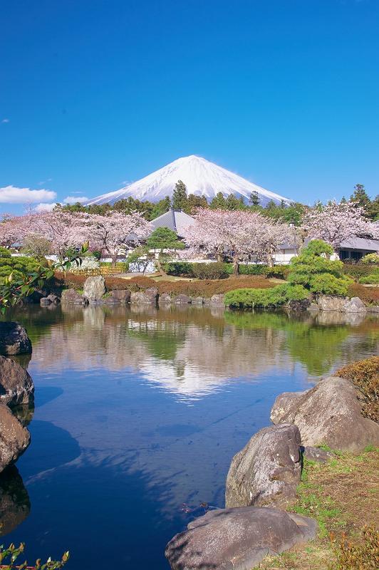 大石寺 桜風景