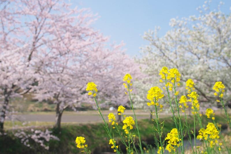 さくら咲く頃 2