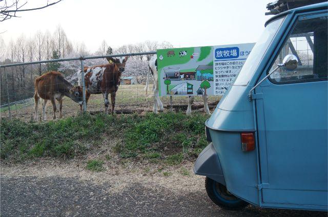 牛とピアジオベスパカー・アペ