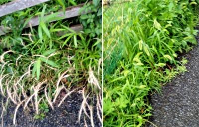 道端の草たち
