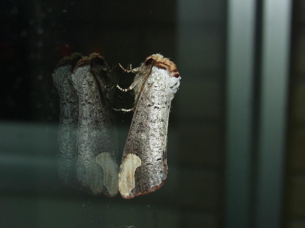 タカサゴツマキシャチホコ