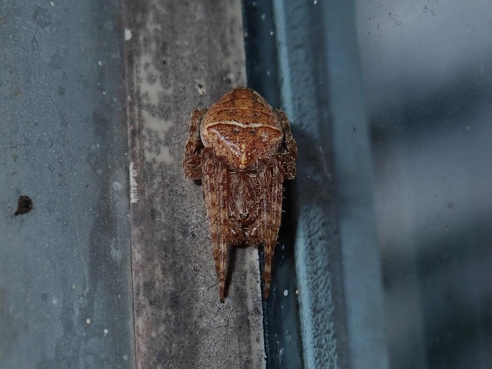 キザハシオニグモ