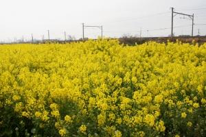 曇り空と菜の花1