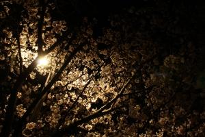 観音寺夜桜1