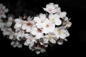 観音寺夜桜3