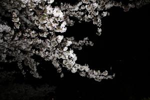 観音寺夜桜4