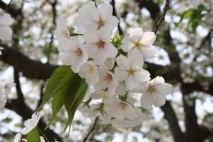 19瀬戸大橋記念公園桜3