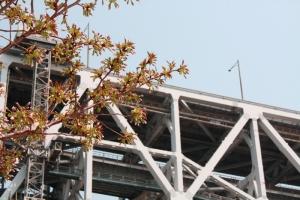 19瀬戸大橋記念公園桜4