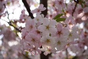 19瀬戸大橋記念公園桜5