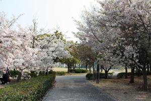 19瀬戸大橋記念公園桜7