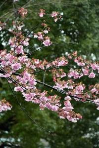 Yōkō the Cherry Blossoms