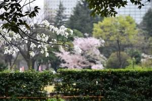 Kobushi Magnolia and Sakura Tree