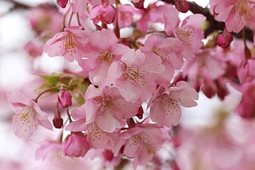 b3R9A5110河津桜