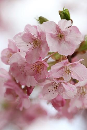 c3R9A5153河津桜