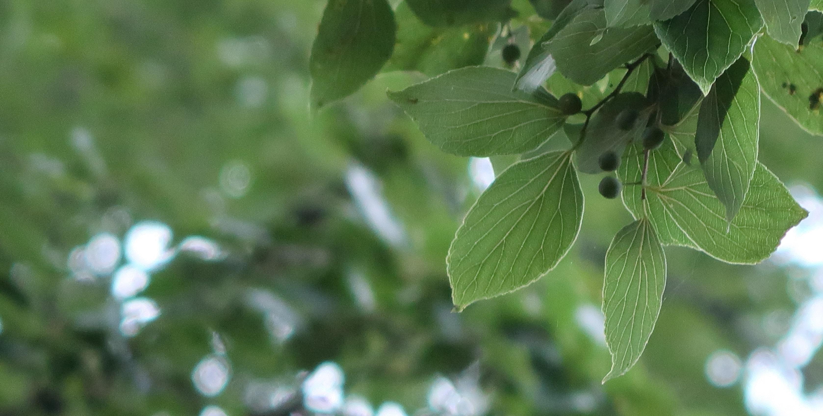 IMG_2933-菩提樹