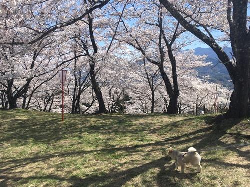 桜花見クウチャン2