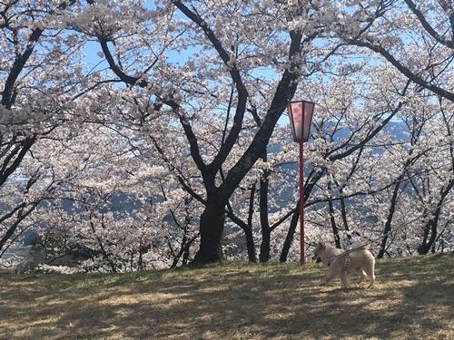 桜花見クウチャン3