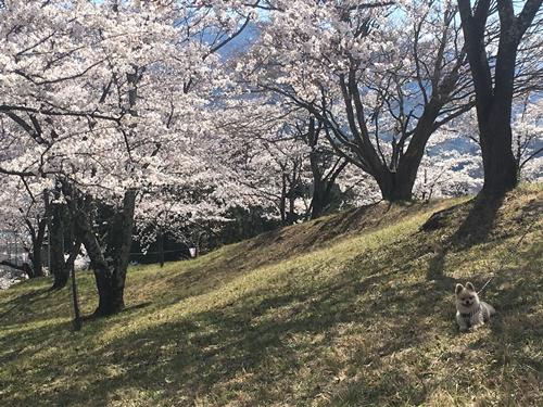 桜花見クウチャン7