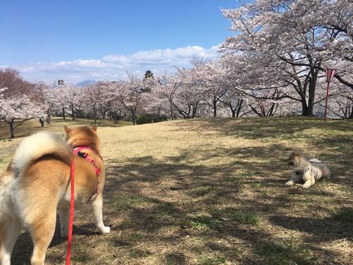 桜花見クウチャン8