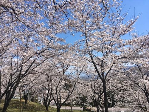桜花見クウチャン11