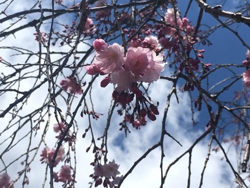 桜花見クウチャン14