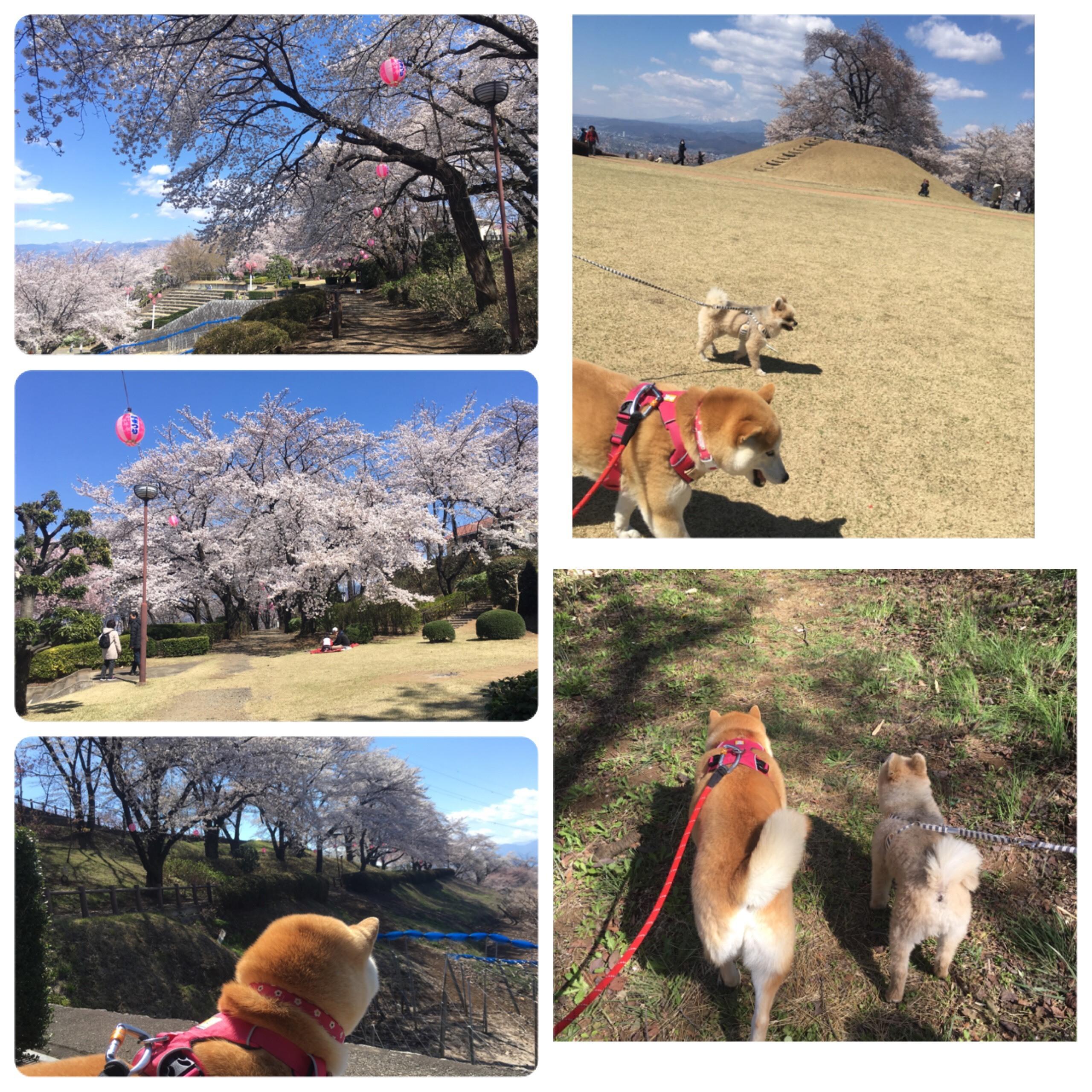八代ふるさと公園 クウちゃんと桜見散歩