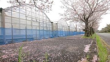 桜散るー1