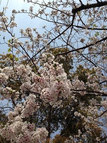 桜 2019