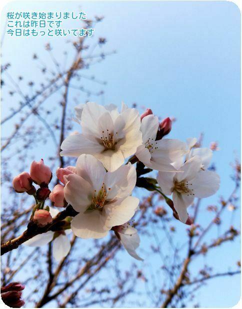 ⑤桜咲いた