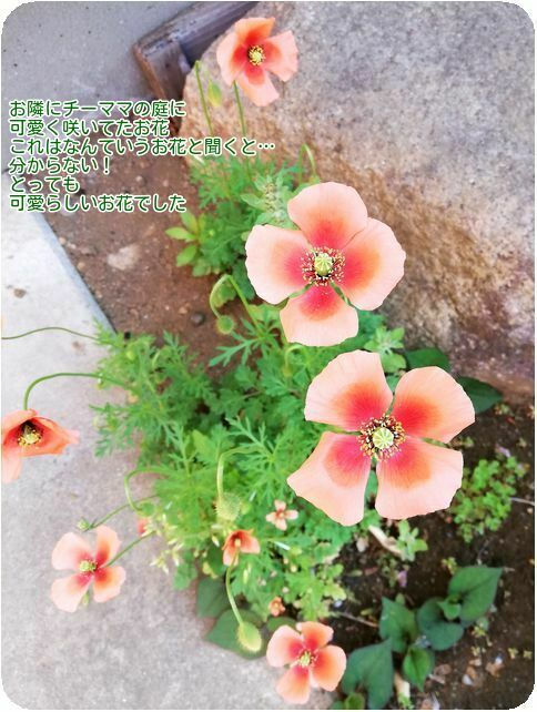 ③チーママおうちの花