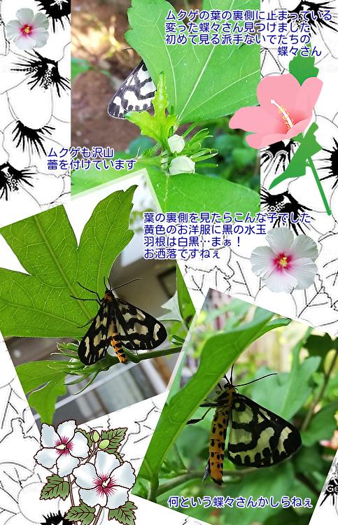 ②ムクゲに蝶々さん