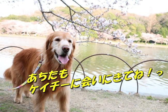 明石公園桜2018 248
