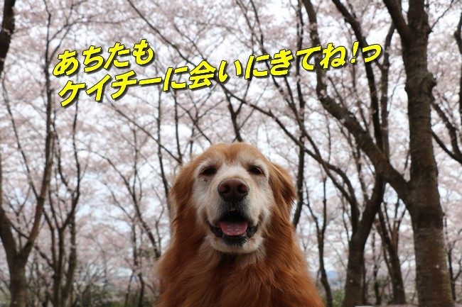 播磨中央公園の桜 034