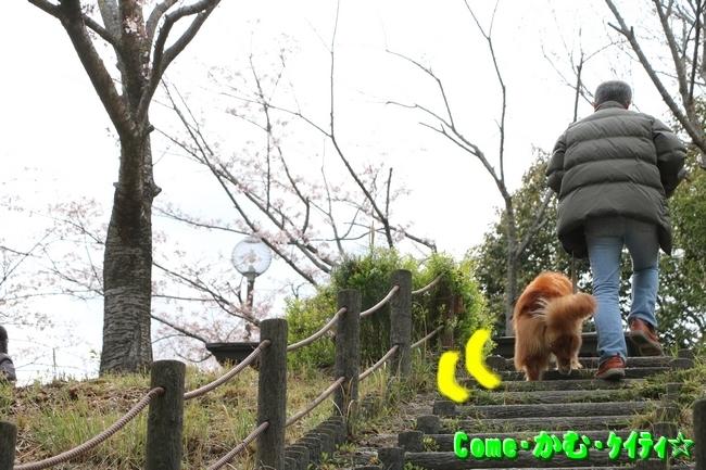 播磨中央公園の桜 005
