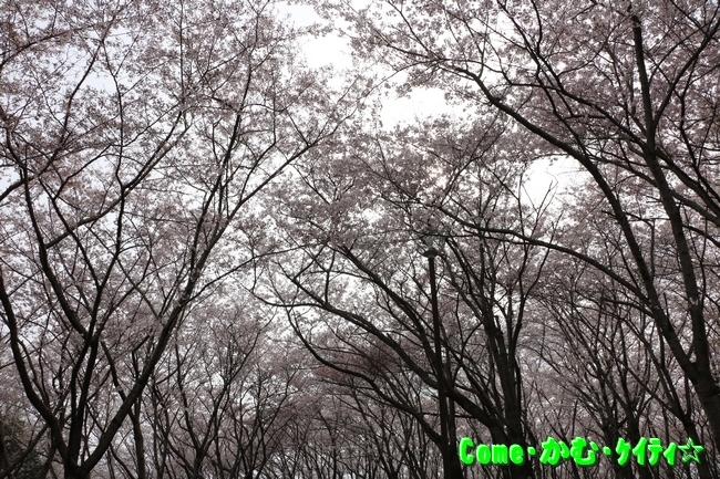 播磨中央公園の桜 007