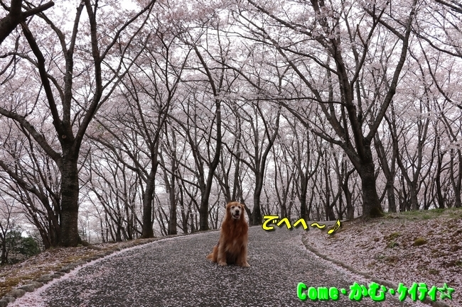 播磨中央公園の桜 009