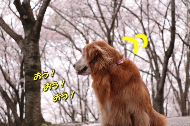 播磨中央公園の桜 026