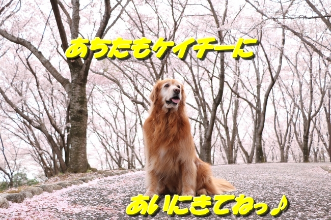 播磨中央公園の桜 027