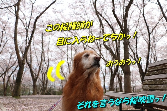 播磨中央公園の桜 037