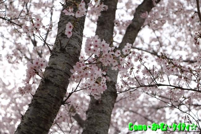播磨中央公園の桜 091