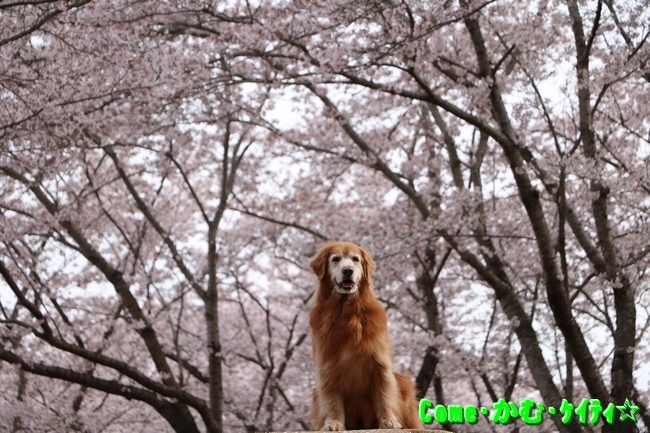 播磨中央公園の桜 153
