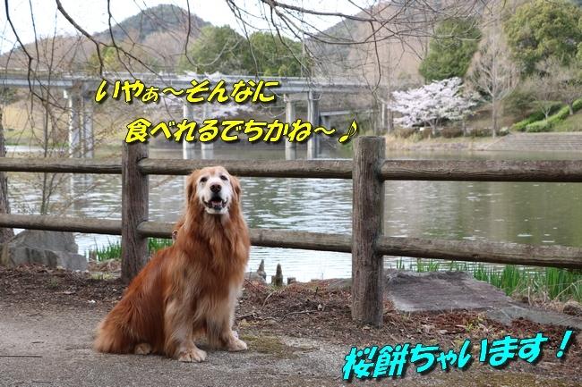 播磨中央公園の桜 280