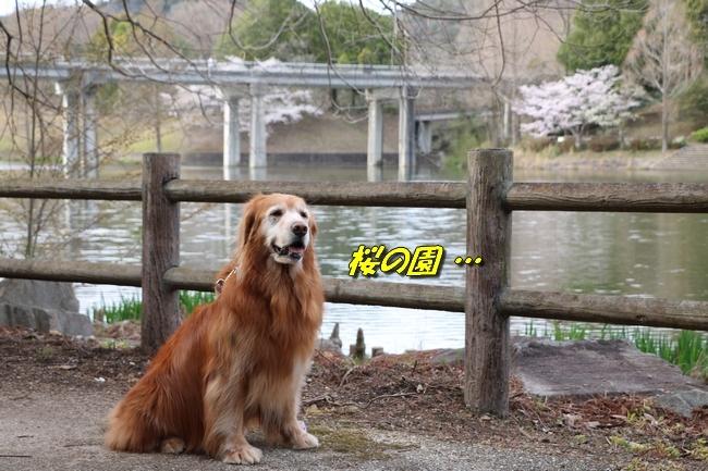 播磨中央公園の桜 281