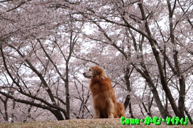播磨中央公園の桜 150