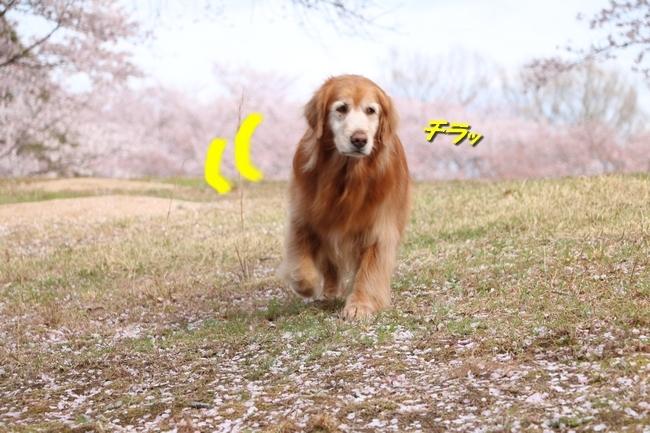 播磨中央公園の桜 117