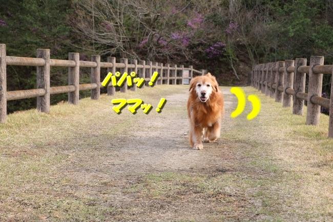播磨中央公園の桜 325