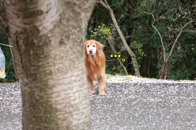 播磨中央公園の桜 253