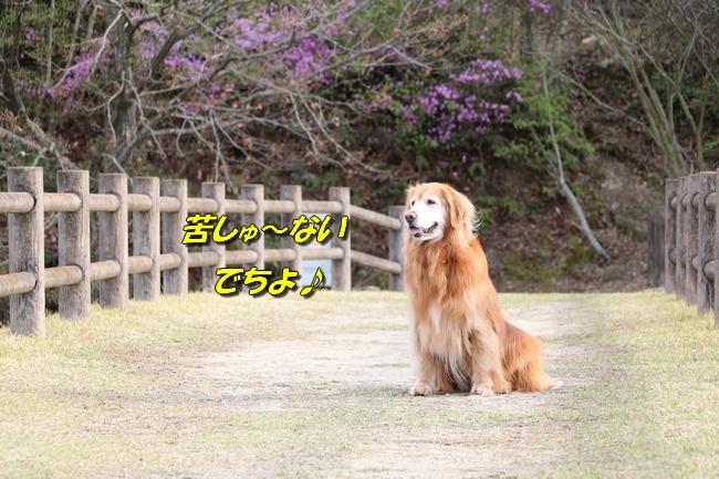 播磨中央公園の桜 317