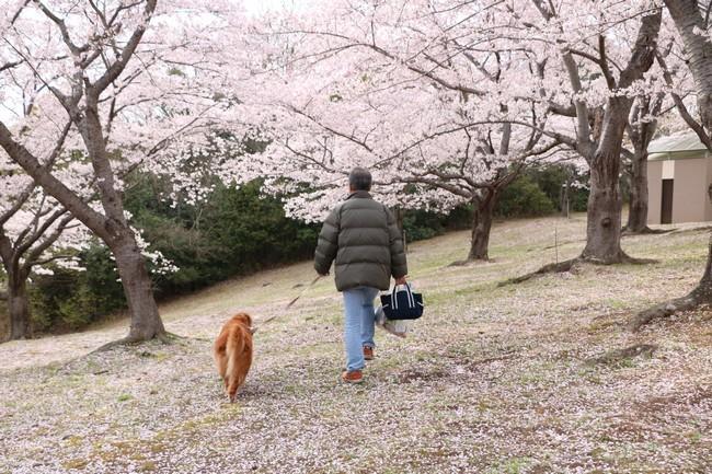 播磨中央公園の桜 073
